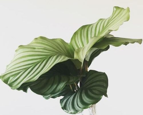 calathea orbifolia houseplant care