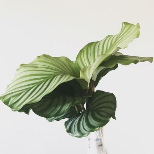 How to not kill your  Calathea Orbifolia