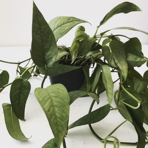 Fall For The Cebu Blue Pothos and Keep It Alive