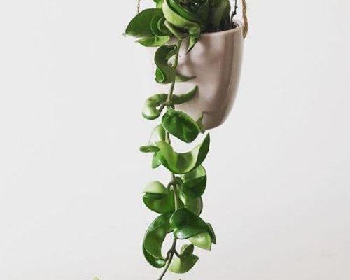hindu rope plant