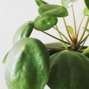 Pilea Peperomioides houseplant