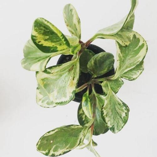 peperomia obtusifolia variagata